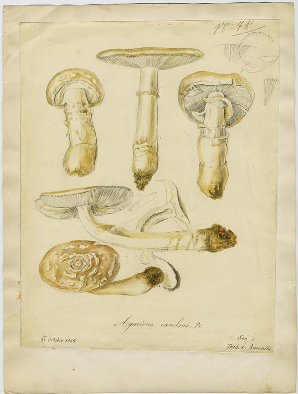 BARLA Jean-Baptiste (attribué à) : Amanite épaisse, champignon