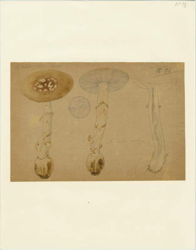 Amanite élevée ; champignon_0