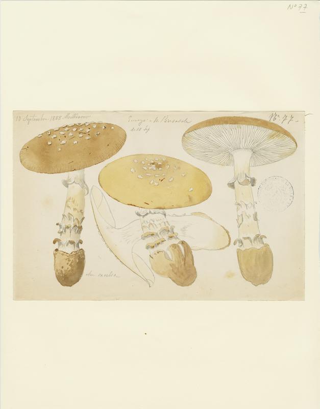 BARLA Jean-Baptiste (attribué à) : Amanite élevée, champignon