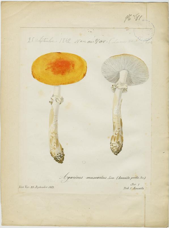 Amanite tue-mouches ; Royal picotat ; Royal rouge ; champignon_0