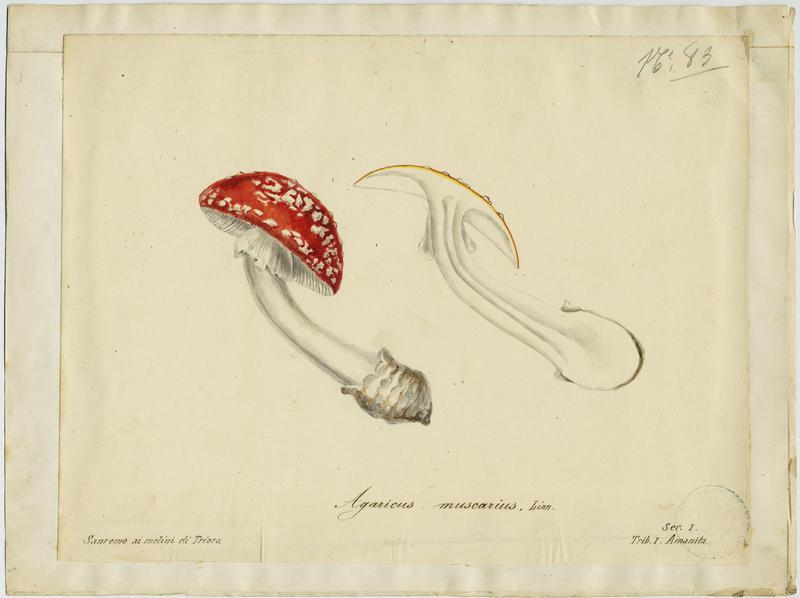 BARLA Jean-Baptiste (attribué à) : Amanite tue-mouches, Royal picotat, Royal rouge, champignon