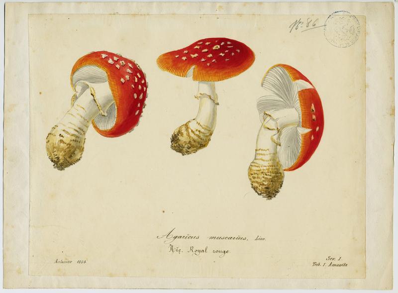 Amanite tue-mouches ; Royal picotat ; Royal rouge ; champignon