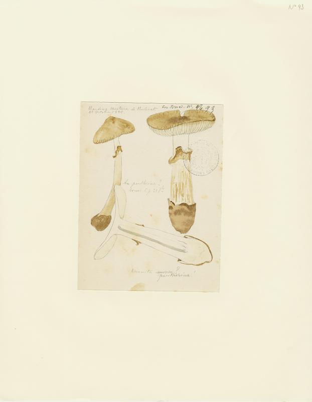 Amanite panthère ; Fausse golmotte ; champignon