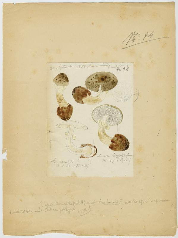 BARLA Jean-Baptiste (attribué à) : Amanite porphyre, champignon