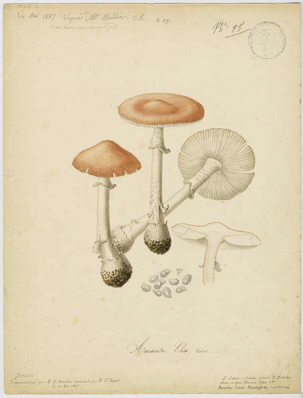 Amanite isabelle ; champignon_0