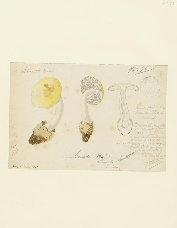 BARLA Jean-Baptiste (attribué à) : Amanite isabelle, champignon