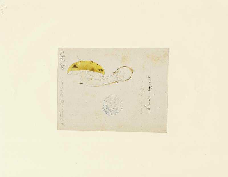 BARLA Jean-Baptiste (attribué à) : Amanite citrine, champignon