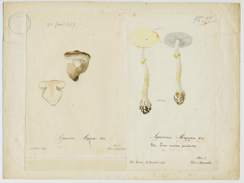 BARLA Jean-Baptiste (attribué à) : Amanite citrine, Lera roussa picotada, champignon