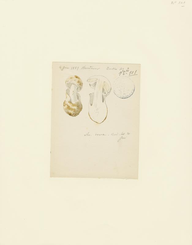 BARLA Jean-Baptiste (attribué à) : Amanite printanière, champignon