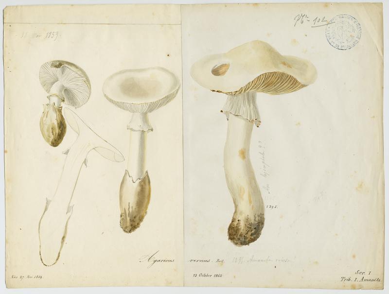 Amanite printanière ; champignon