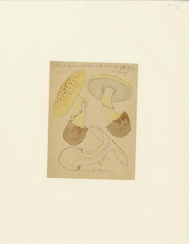 Amanite citrine ; champignon_0