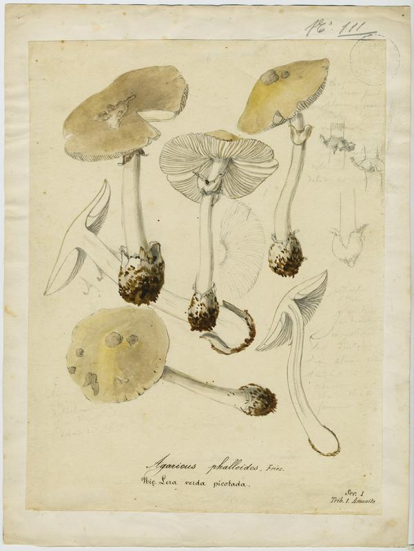 BARLA Jean-Baptiste (attribué à) : Amanite phalloïde, Lera verda picotada, champignon