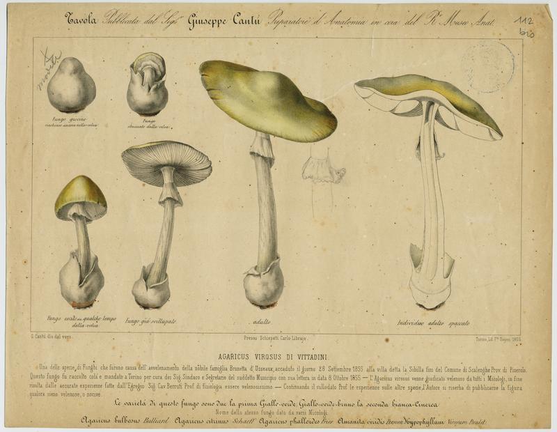 BARLA Jean-Baptiste (attribué à) : Amanite vireuse, champignon