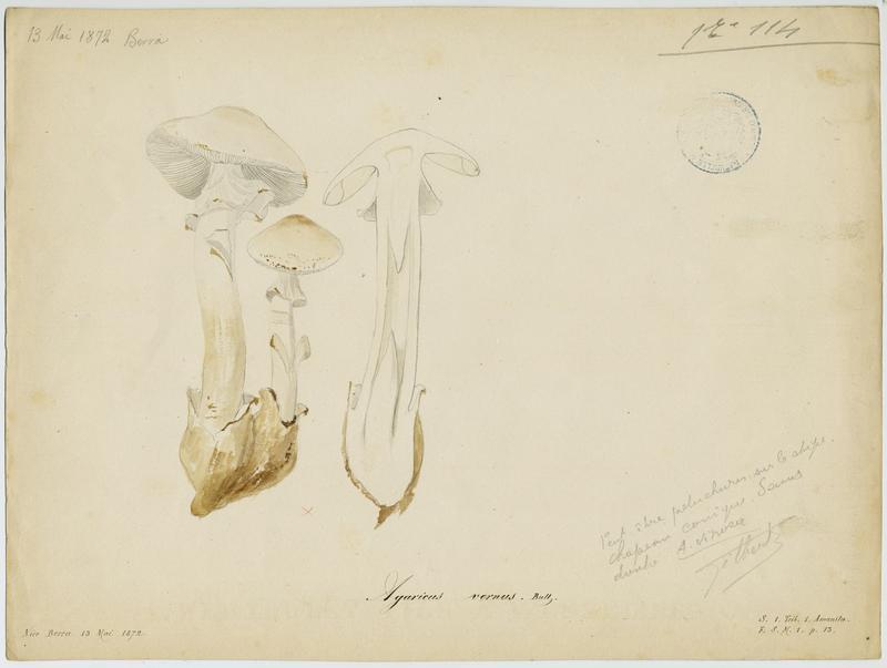 Amanite printanière ; champignon_0