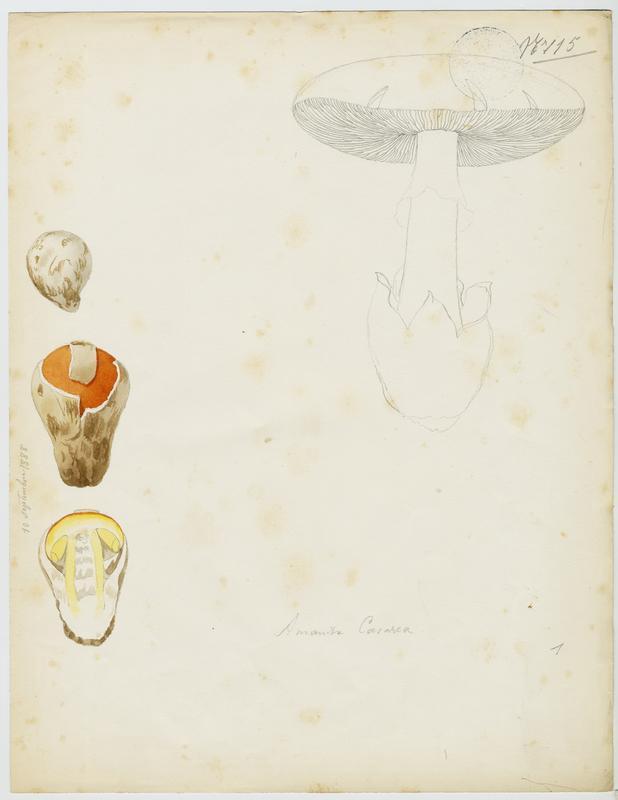 Amanite des Césars ; Oronge ; Oronge vraie ; champignon_0