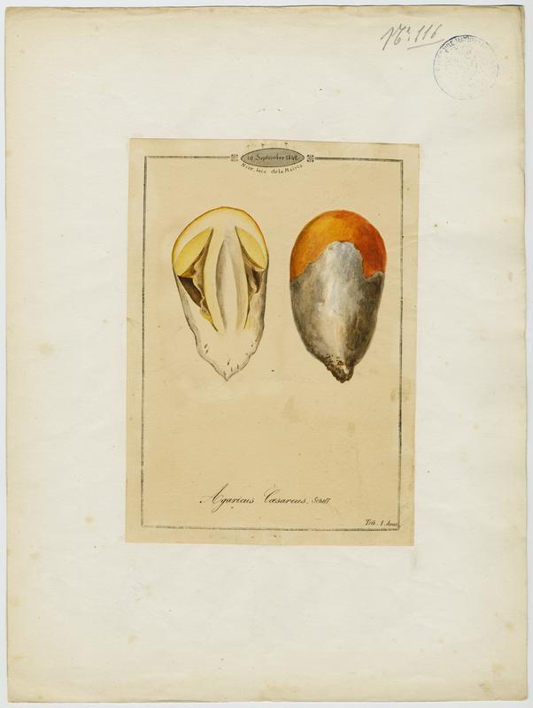 Amanite des Césars ; Oronge ; Oronge vraie ; champignon