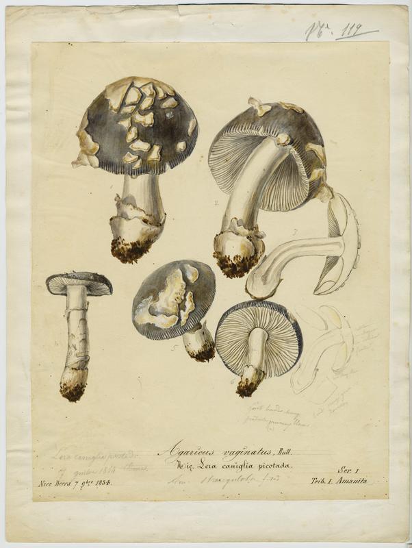 Amanite vaginée ; Amanite grise ; Lera caniglia picotada ;  Grisette ;  Amanite engainée ; champignon_0