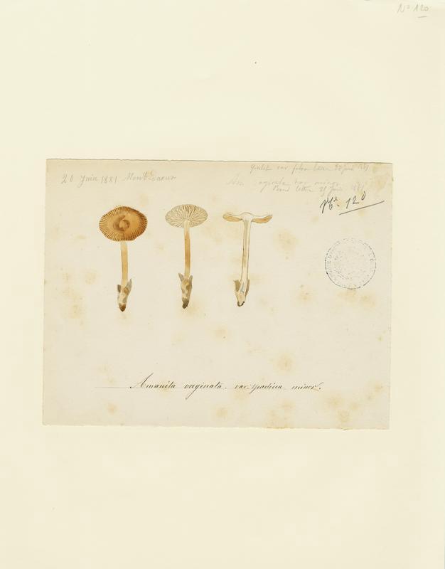 Amanite vaginée ; Grisette ;  Amanite engainée ; champignon