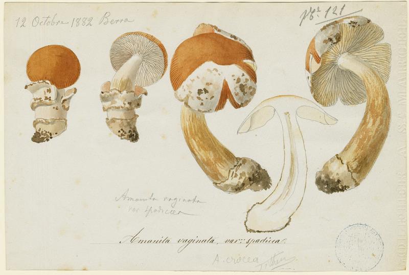 BARLA Jean-Baptiste (attribué à) : Amanite vaginée, Grisette,  Amanite engainée, champignon