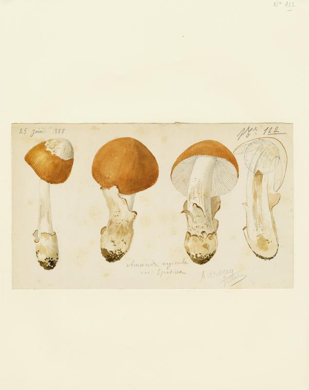 Amanite vaginée ; Grisette ; Amanite engainée ; champignon_0