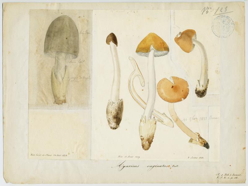 Amanite vaginée ;  Grisette ;  Amanite engainée ; Amanite grise ; champignon_0