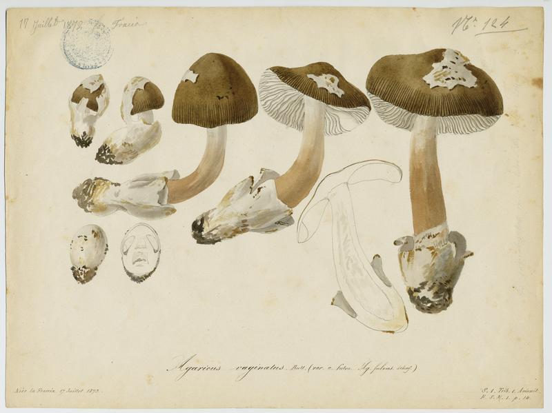 Amanite fauve ; champignon