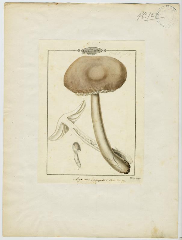 BARLA Jean-Baptiste (attribué à) : Amanite vaginée, Amanite grise, Lera caniglia picotada, champignon