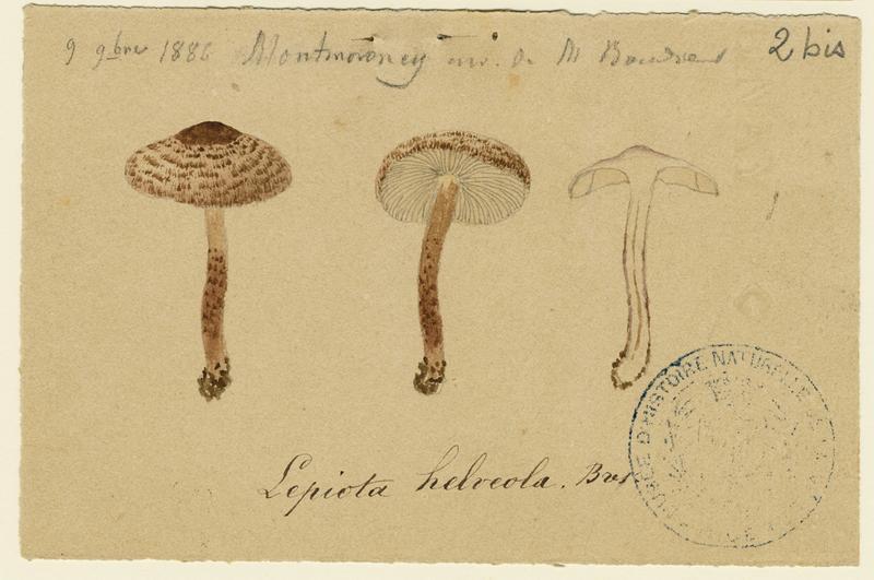 Lépiote brun-incarnat ; champignon_0