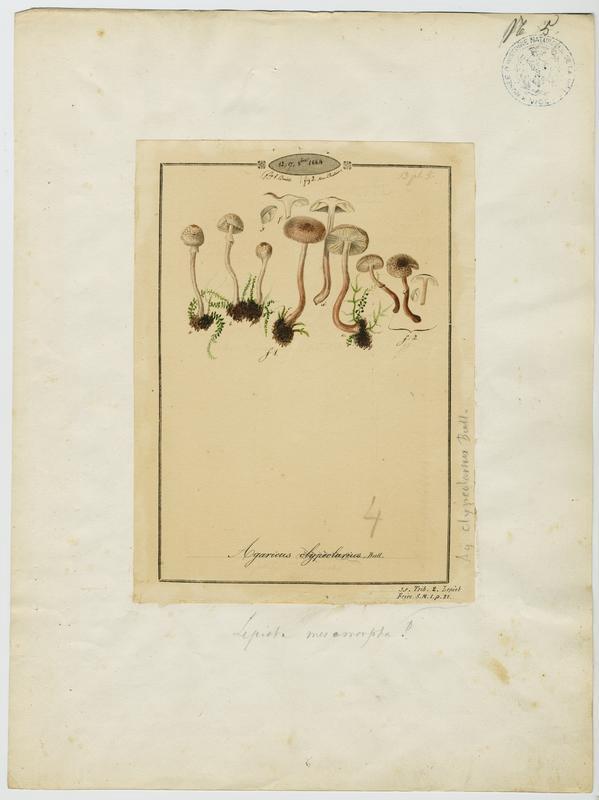 BARLA Jean-Baptiste (attribué à) : Lépiote en bouclier, champignon