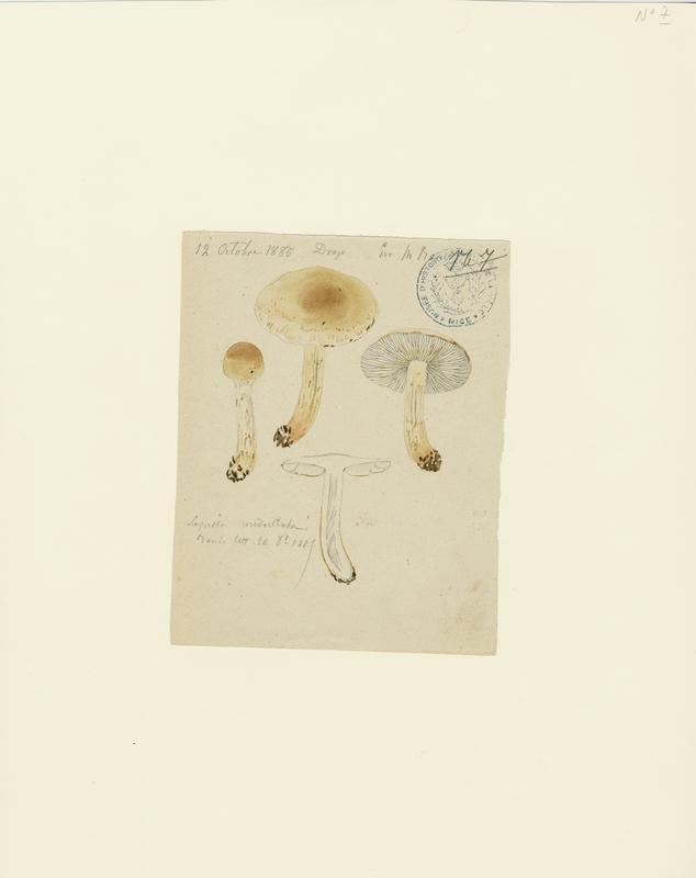 BARLA Jean-Baptiste (attribué à) : Lépiote, champignon
