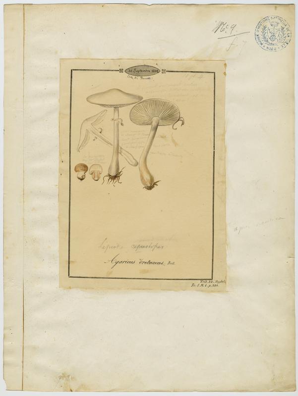 Leucocoprin ; champignon_0