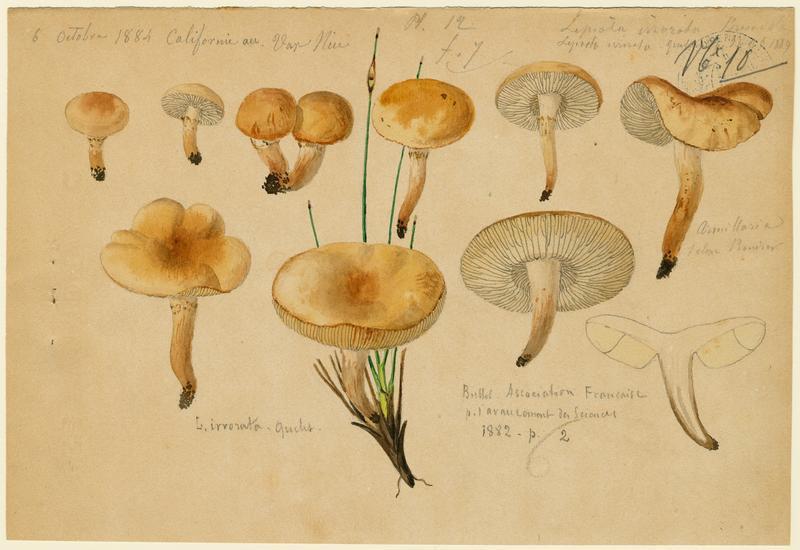 Lépiote guttulée ; champignon