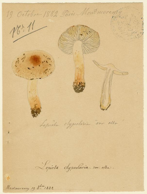 BARLA Jean-Baptiste (attribué à) : Lépiote en bouclier, variété blanche, champignon