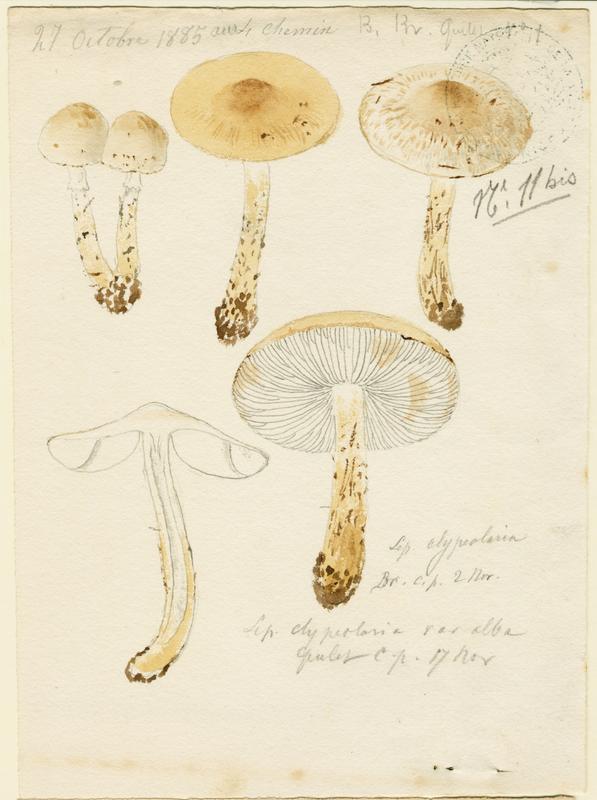 Lépiote en bouclier, variété blanche ; champignon