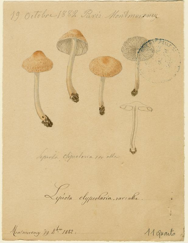 Lépiote en bouclier, variété blanche ; champignon_0