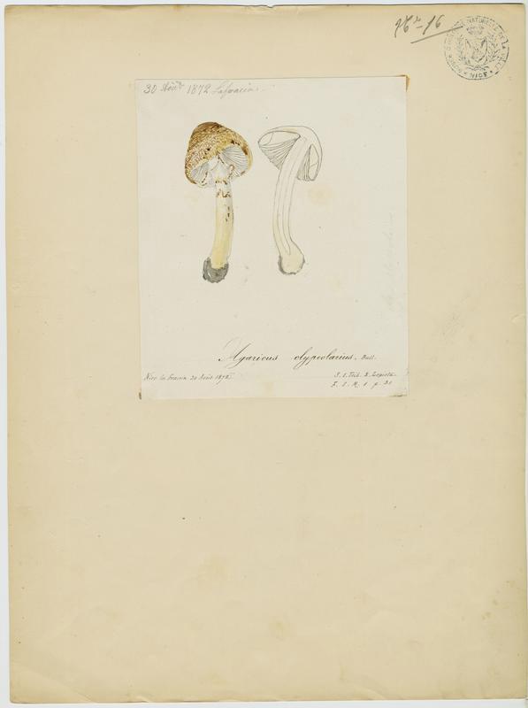 Lépiote en bouclier ; champignon_0