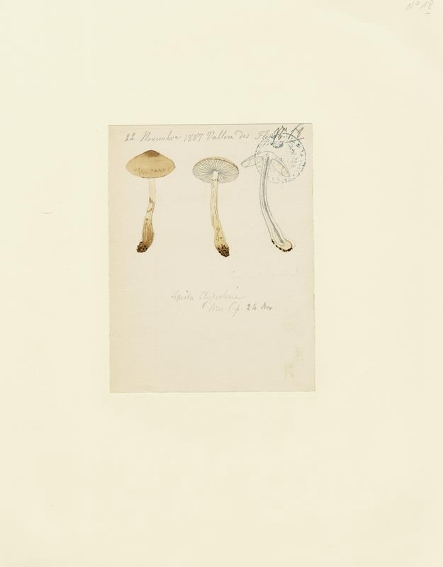 Lépiote en bouclier ; champignon