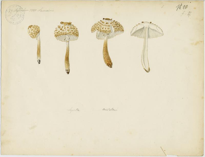 Lépiote crêtée ; champignon_0