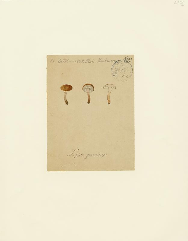 BARLA Jean-Baptiste (attribué à) : Cystoderme granuleux, champignon