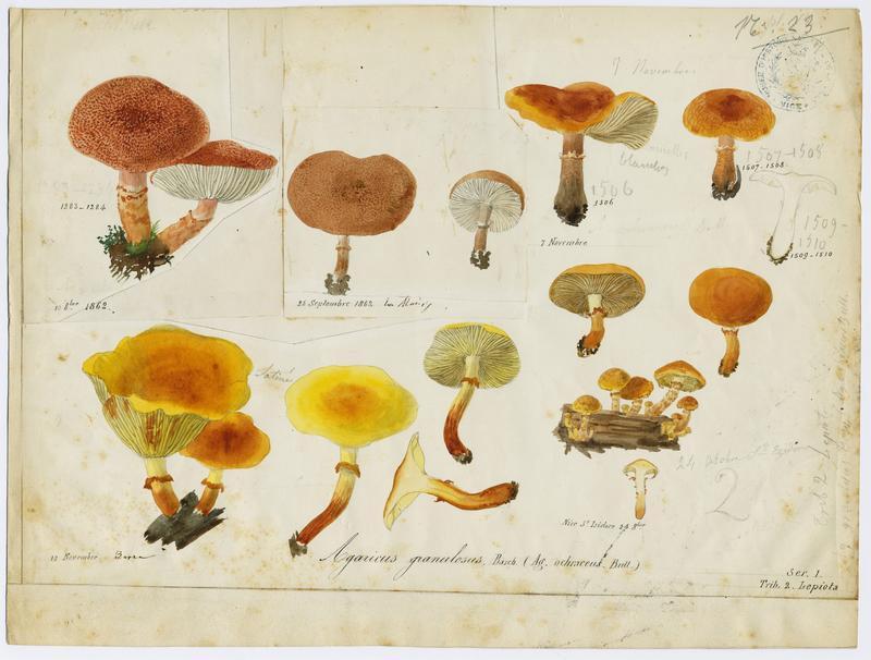 Cystoderme granuleux ; champignon_0