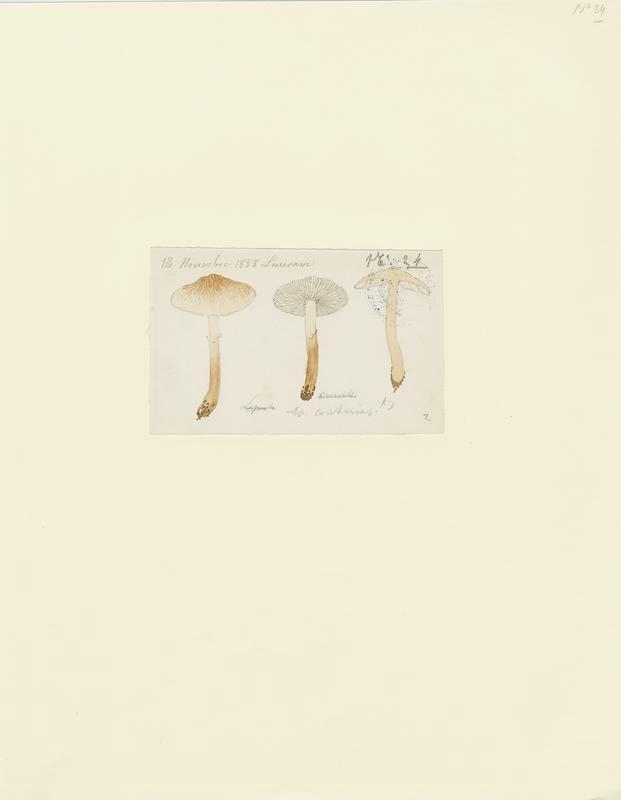 BARLA Jean-Baptiste (attribué à) : Lépiote requin, champignon