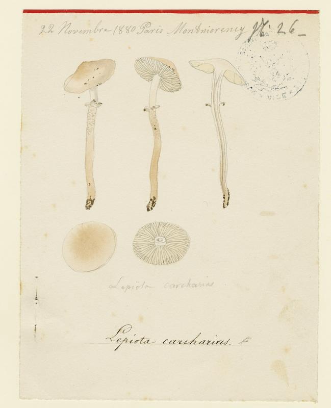 Lépiote requin ; champignon_0