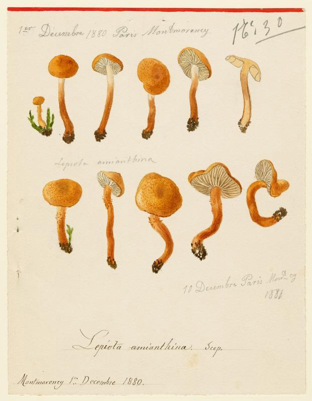 Cystoderme furfuracé ; Cystoderme amiantacé ; champignon