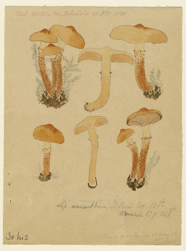 Lépiote amiantacée ; champignon_0