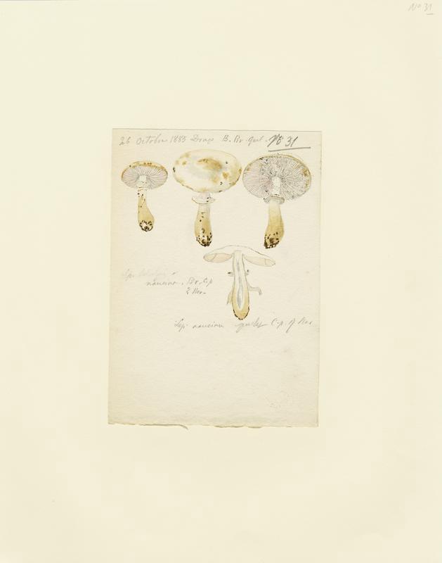 BARLA Jean-Baptiste (attribué à) : Lépiote pudique, champignon