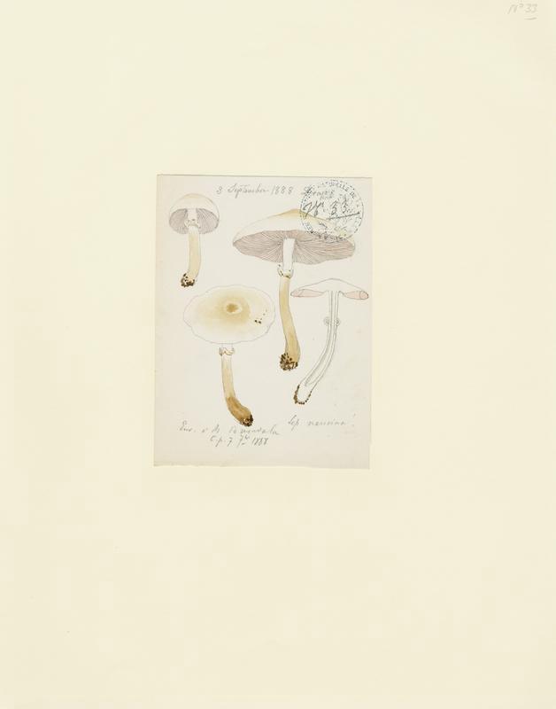Lépiote pudique ; champignon_0