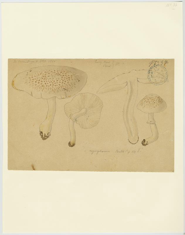 Lépiote ; champignon