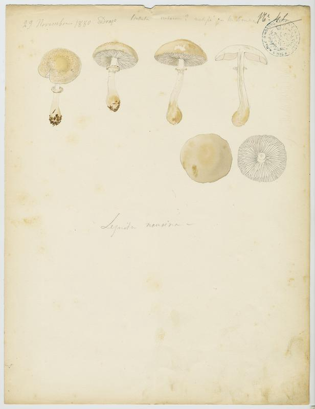 Lépiote pudique ; champignon