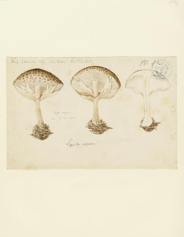 LOMBARDI Charles : Lépiote à écailles aigües, champignon