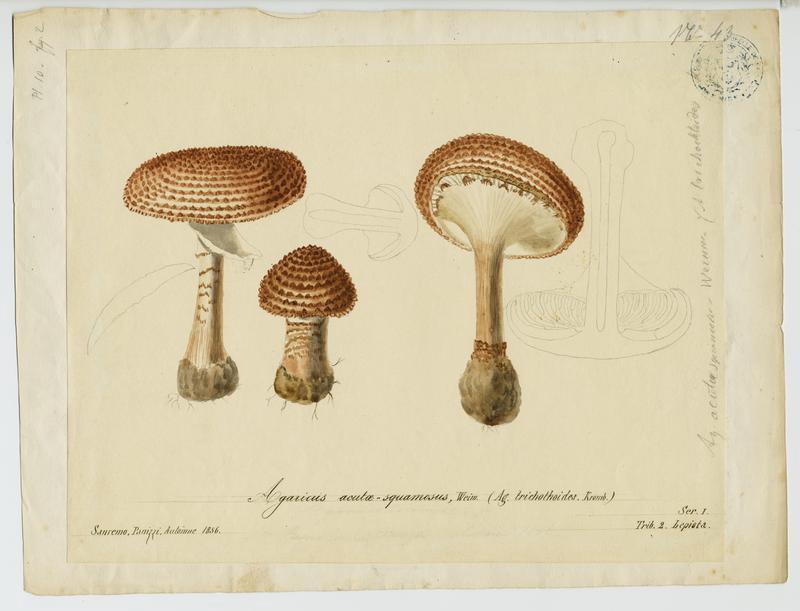 Lépiote à écailles aigües ; champignon_0